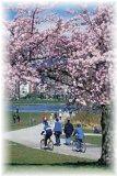 バンクーバー・スタンレーパークの桜