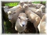 人間の数より羊の数